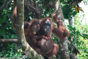 orangutan and baby in forest