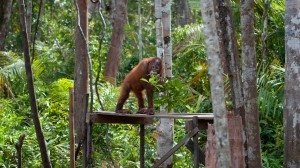 Orangutan on Platform
