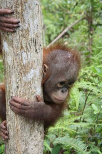 baby orangutan looks around tree