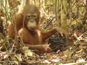 Orangutan eating termites