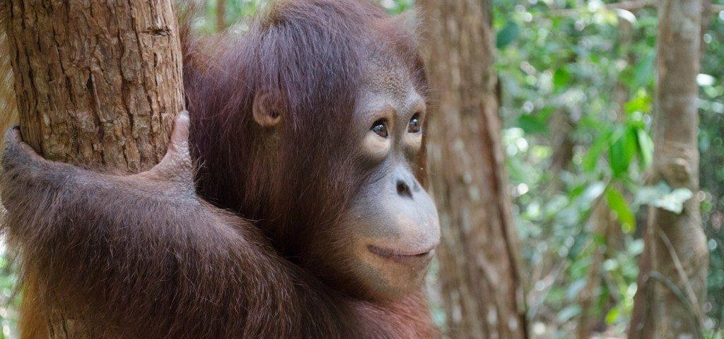 OAW 2017- The OFIC Orangutan Foster Program