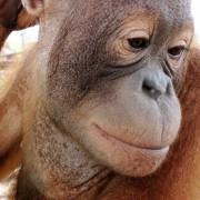 Lear the orangutan