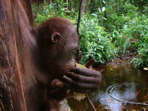 orangutan in swamp