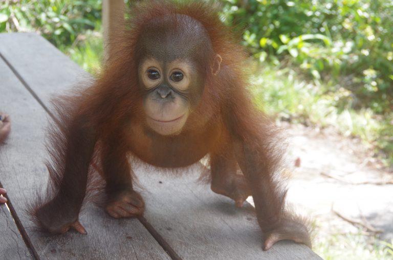 Orangutan Iribe
