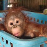 Lucky the orangutan