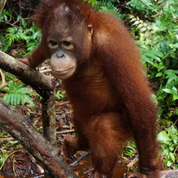 Satria the Orangutan plays in the mud
