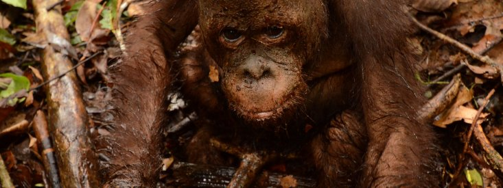 Turbo is a muddy orangutan